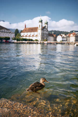 Duck swimming in Reuss River against Jesuit Church. Sunny day in Lucerne, Switzerland.