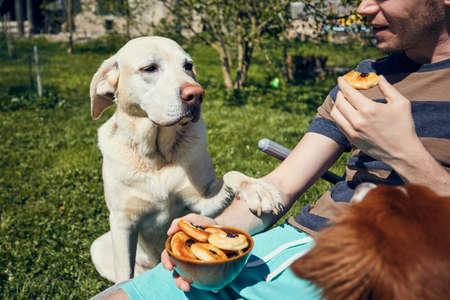 Dog begging at eat. Labrador retriever watching his pet owner during eating on garden.