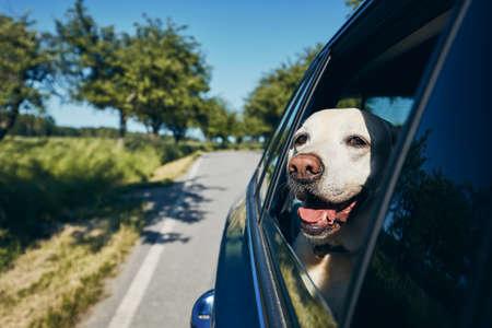 Happy dog travel by car. Labrador retriever looking through window on road.