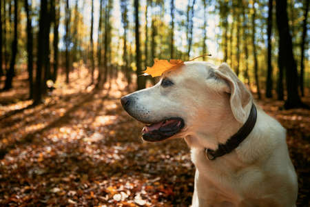 Happy dog in autumn forest. Old labrador retriever wit yellow leaf on head.