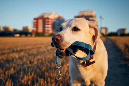 Dog holding leash in mouth. Labrador retriever is walking on path against city during sunset.