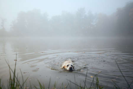 Playful dog (labrador retriever) swimming in lake during cold autumn morning.