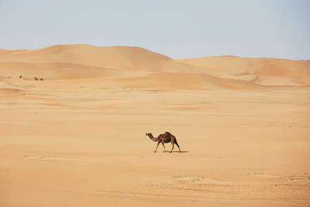 Lonely camel walking against sand dunes in desert landscape. Abu Dhabi, United Arab Emirates Foto de archivo