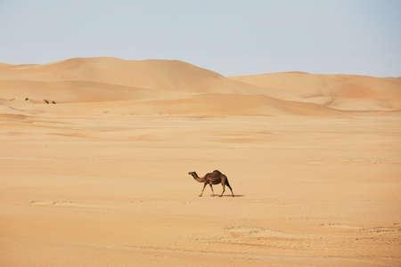 Lonely camel walking against sand dunes in desert landscape. Abu Dhabi, United Arab Emirates Stock Photo