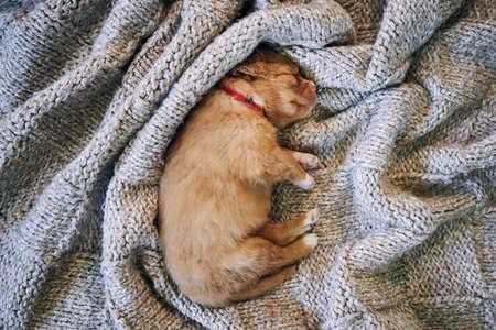 Cute dog sleeping on blanket. Purebred puppy of Nova Scotia Duck Tolling Retriever.