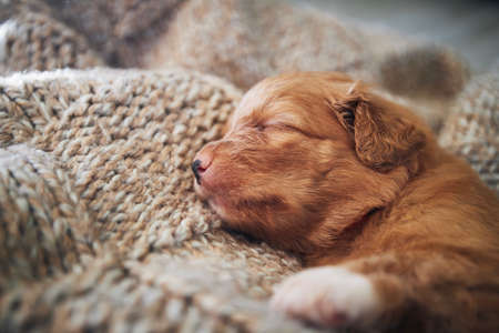 Cute dog sleeping on blanket at home. Purebred puppy of Nova Scotia Duck Tolling Retriever. Stock fotó