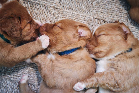 Cute dogs sleeping on blanket at home. Purebred puppy of Nova Scotia Duck Tolling Retriever. Stock fotó