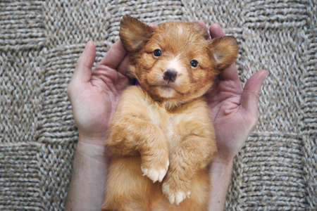 Man holding cute puppy in palms of hands. Cute Nova Scotia Duck Tolling Retriever looking at camera Stock fotó