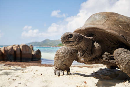 Aldabra giant tortoise on sand beach. Close-up view of turtle against seascape in Seychelles.