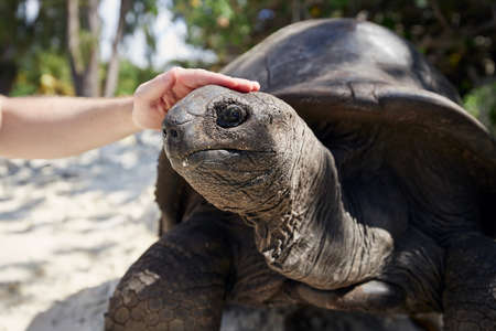 Close-up view of human hand stroking Aldabra giant tortoise on head, Seychelles. Stock fotó