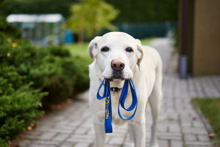 Dog waiting for walk. Labrador retriever standing with leash in mouth against back yard of house. Stock fotó