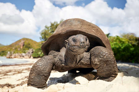 Aldabra giant tortoise on sand beach. Close-up view of turtle in Seychelles. Stock fotó