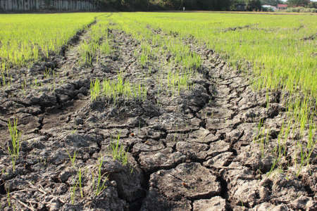 Crops try to grow on dry ground photo