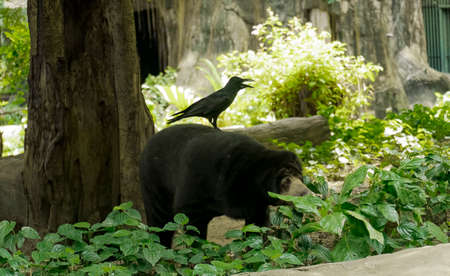 Old bear in zoo waiting for food from visitors. Stock Photo