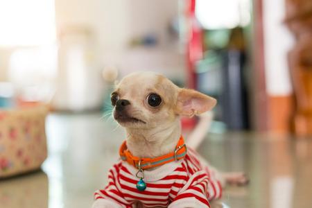 Dog in a stripe shirt