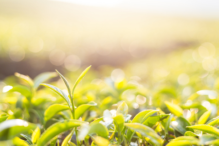 Green tea leaves in a tea plantation.