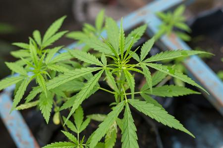 Young fresh cut cannabis clones in a legal indoor recreational grow farm Stock Photo