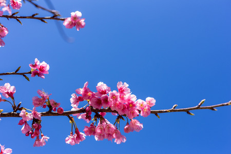 Soft focus, beautiful sprig cherry blossom. Prunus cerasoides in Thailand, Stock Photo