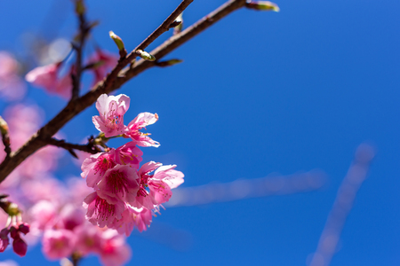 Soft focus, beautiful sprig cherry blossom. Prunus cerasoides in Thailand, 免版税图像