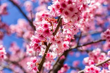 Soft focus, beautiful sprig cherry blossom. Prunus cerasoides in Thailand, Stock Photo