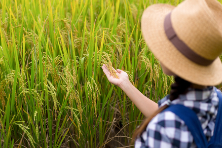 Farmer woman hand holding rice Stock Photo - 99394553