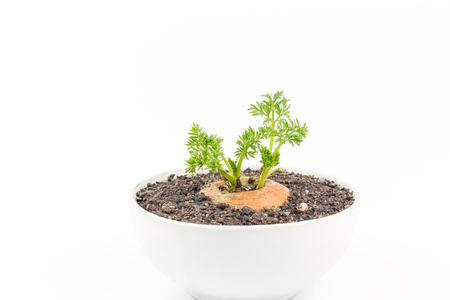 Young carrot plant isolated on white Stock Photo