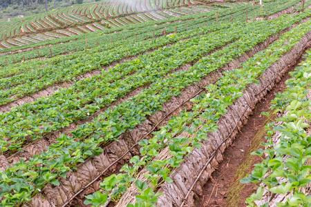 Strawberry farm Thailand. Stock Photo