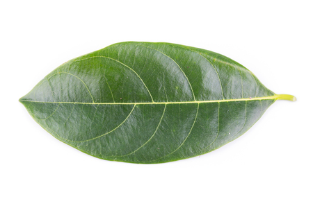 Jackfruit leaves on white background