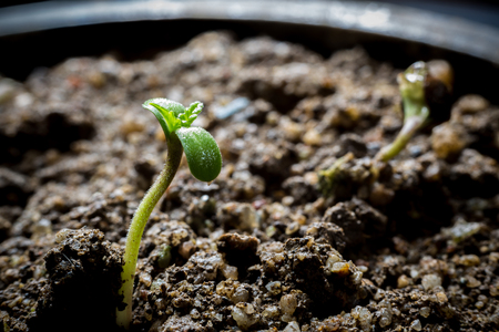 Young Cannabis Growing in soil 写真素材
