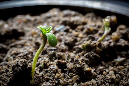 Young Cannabis Growing in soil Foto de archivo