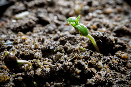 Young Cannabis Growing in soil Stock Photo