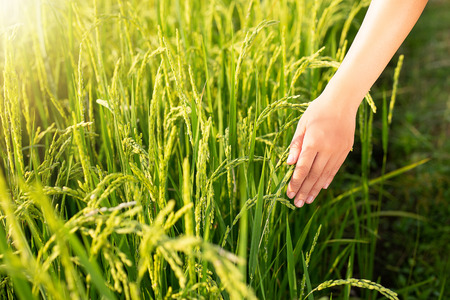 hand tenderly touching a young rice in the paddy field 免版税图像
