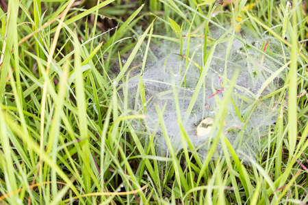 Dew on the grass and spider web in the morning. Banco de Imagens