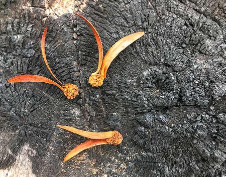 Dipterocarpus alatus on the burned stump is black.