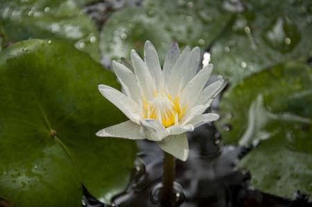 nosferatu: lotus thai
