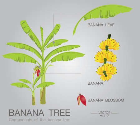 herbaceous  plant: banana tree Illustration