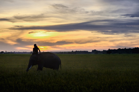 SURIN, THAILAND - CIRCA OCTOBER 2016 : Thai mahout ride the elephant to work in a rice field at sunrise. In Thailand, the economy is dominated by agriculture.