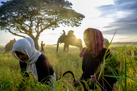 SURIN, THAILAND - CIRCA OCTOBER 2016 : Thai people working in a rice field at sunrise. In Thailand, the economy is dominated by agriculture.