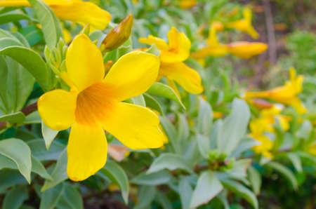 dew drop: Allamanda  Flower