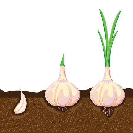 raíz de planta: ilustración. ajo