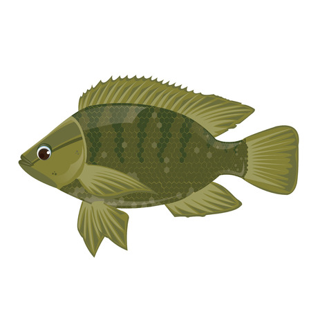 cichlid: illustration. Fish Nile tilapia on white background. Illustration