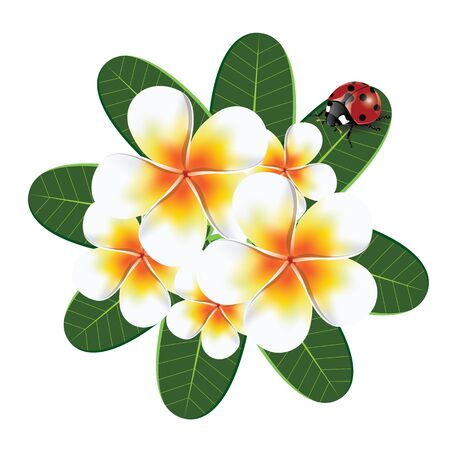 beetles: illustration. frangipani with ladybird beetles on a white background