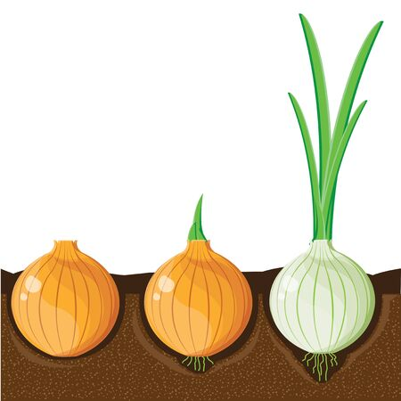 cellulose: illustration. onion 2
