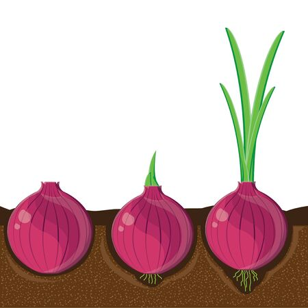 cellulose: illustration. onion 1 Illustration