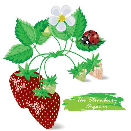 illustrazione. fragola con coccinelle su uno sfondo bianco Vettoriali