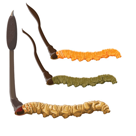 genus: illustration. Cordyceps Sinensis on White background