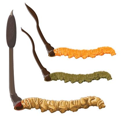 illustration. Cordyceps Sinensis on White background
