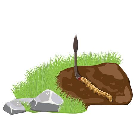 illustration. Cordyceps sinensis.Dong Chong Xia Cao