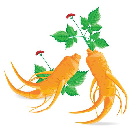 illustration ginseng on white background.