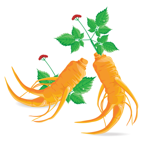 illustration ginseng on white background.